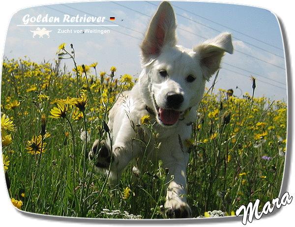 weiße golden retriever züchter